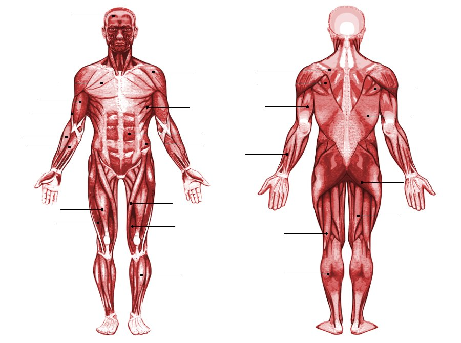 Human Muscle Anatomy QuizSporcle